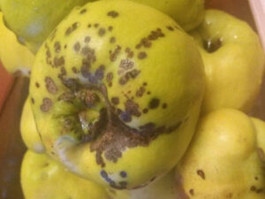 Bolesti dunje - Crna pegavost lista i ploda