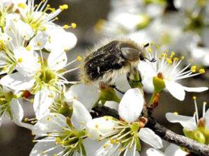 Bolesti dunje cvetojed rutava buba