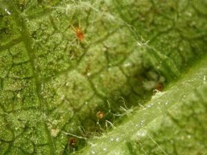 Bolesti dunje pauk grinja