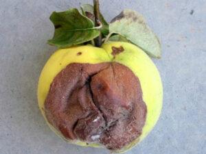 Bolesti dunje - trulež ploda